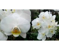 Phalaenopsis PHM 092 Popcorn