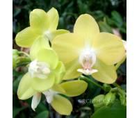 Phalaenopsis PHM 097