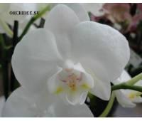 Phalaenopsis PHM 108 Venis