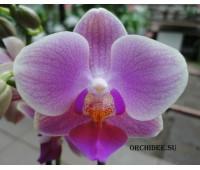 Phalaenopsis PHM 109 Sogo Tinna