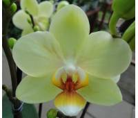 Phalaenopsis PHM 112 Cancun