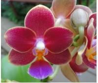 Phalaenopsis PHM 113