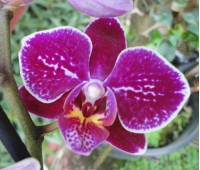 Phalaenopsis PHM 116
