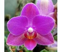 Phalaenopsis PHM 118