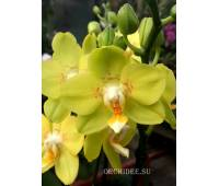 Phalaenopsis PHM 26 Brescia