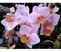 Phalaenopsis PHM 028 Little Amaglad