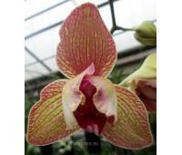 Phalaenopsis PP 011 peloric