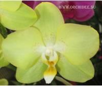 Phalaenopsis PY 003 Sogo Manager 'Gold Nugget'