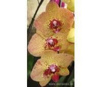 Phalaenopsis PY 005