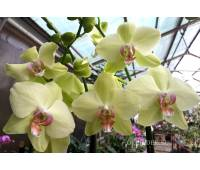 Phalaenopsis PY 007