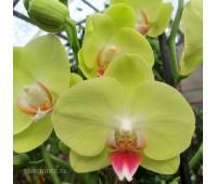 Phalaenopsis PY 009 Yellow Parakeet