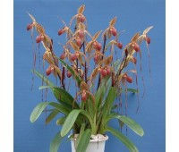 Paphiopedilum Prince Edward Of York