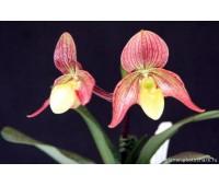 Paphiopedilum concolor x philippinense