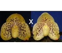 Paphiopedilum wenshanense 'Bear-50' x wenshanense 'Bear-16'