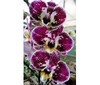 Phalaenopsis PH 237