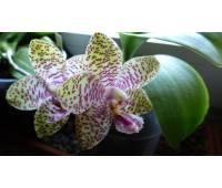 Phalaenopsis Natasha 'Aiko'