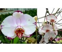 Phalaenopsis Ta Lin Freeds x Doritaenopsis Sun Prince