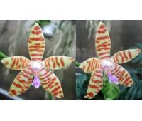 Phalaenopsis (patens-tetraspis) x bastianii