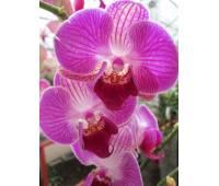 Phalaenopsis PH 052 Piano 3