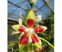 Phalaenopsis amboinensis yellow x Jennifer Palermo 'c-1'