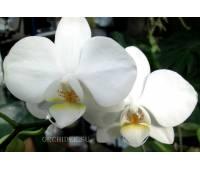 Phalaenopsis PHM 003 Cristella