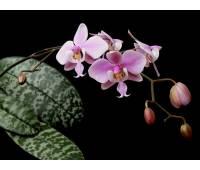 Phalaenopsis schilleriana