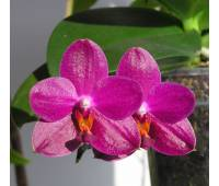 Phalaenopsis Sogo Grape