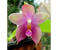 Phalaenopsis speciosa c-1 x P.KS Happy Eagle