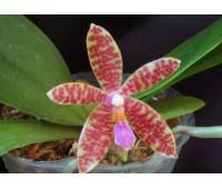 Phalaenopsis pallens x lueddemaniana