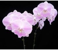 Phalaenopsis (Yu Pin Fire Work - Tai Lin  Red Angel) white x sib