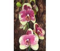 Phalaenopsis PH 009 Geel Rood