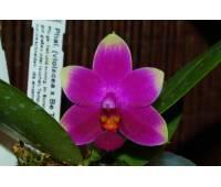 Phalaenopsis (violacea x Be Tris) x violacea
