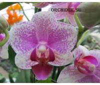 Phalaenopsis PHM 061 Anthura Rotterdam