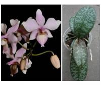 Phalaenopsis Baguio (schilleriana x lindenii)