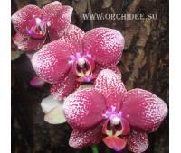 Phalaenopsis PH 109 Salu Spot x Leopard Prince