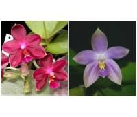 Phalaenopsis Nobby's Pasific Sunset x Tzu Chiang's Violet