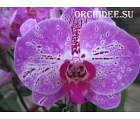 Phalaenopsis Pinko Melody PH 100