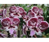 Phalaenopsis PH 222 Fountain Big Lip