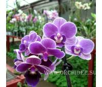 Phalaenopsis PHM 012 Purple mini