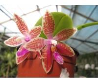 Phalaenopsis Penang Girl violet alba x Corning's Violet