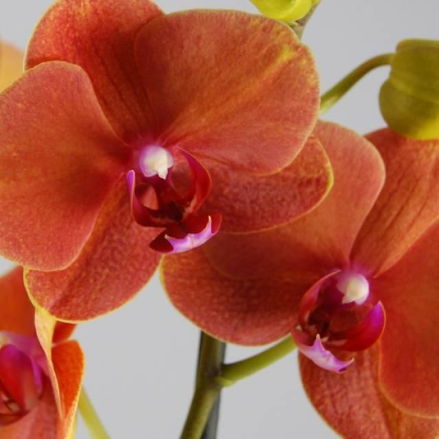 Phalaenopsis PH 111 Surfsong