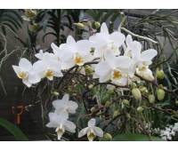 Phalaenopsis PH 105 Wildflowers White Cascade