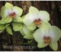 Phalaenopsis PH 162 Sun Passat