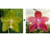 Phalaenopsis Yin's Green Jewel x Corning's Violet