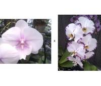 Phalaenopsis Yu Pin Fire Works Big Lip x Bleake Light Flash