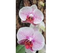 Phalaenopsis PH 016 Fusheng's Mystical Dream (Ever Spring Prince x Scarlett in Snow)