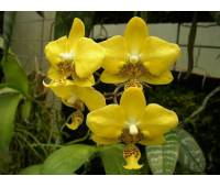 Phalaenopsis stuartiana (yellow) x sib