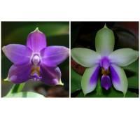 Phalaenopsis violacea blue x bellina blue