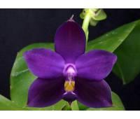 Phalaenopsis violacea blue-indigo x sib