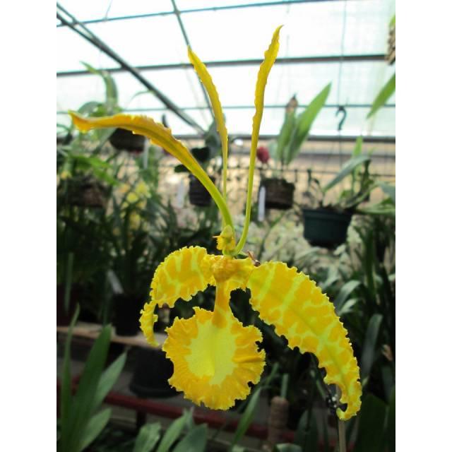 Psychopsis Mariposa alba